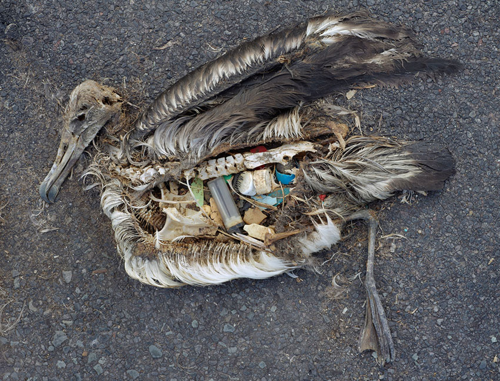 Dead Albatross, killed by ingesting plastic -  by Chris Jordan - where disposable lighters end up.