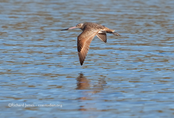 Marbled godwit near Walker Creek