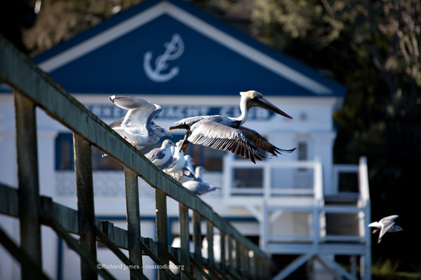 Brown pelican and some gulls at the club