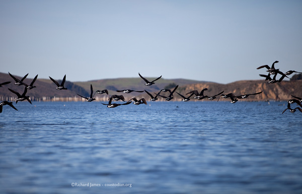 Brant on the wing, Tomales Bay