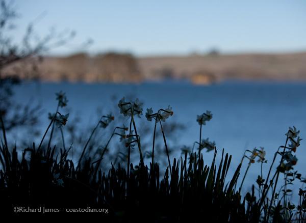 Hog Island behind  narcissus