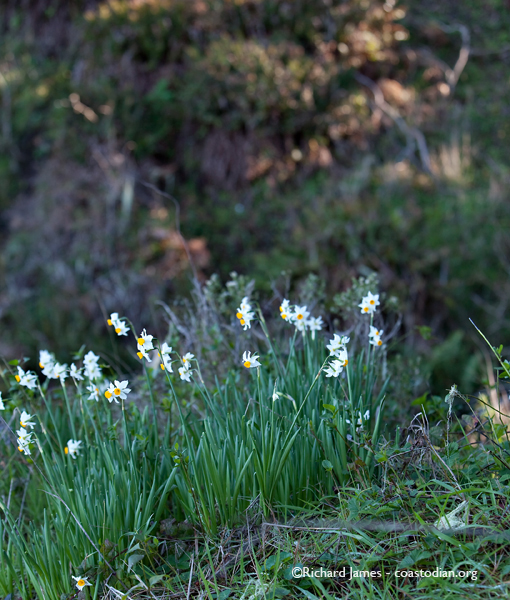 Narcissus covering a hillside on Tomales Point. In January!