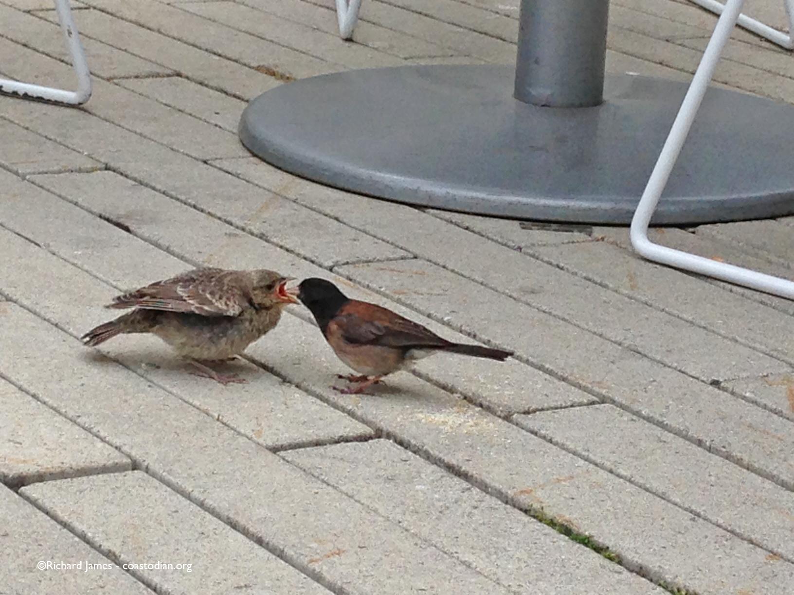 Junco.feedingcowbird