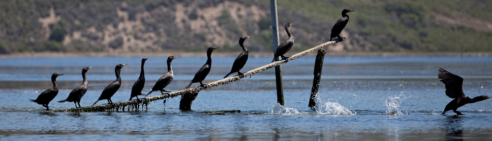 Cormorants resting on oyster racks imbued with creosote