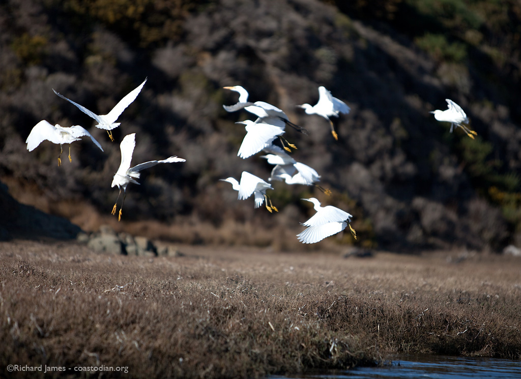 Egrets on the wing. Click for a larger image.