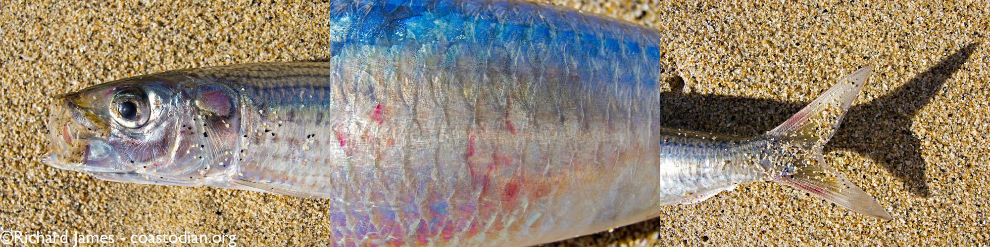 Fish Triptych.cw