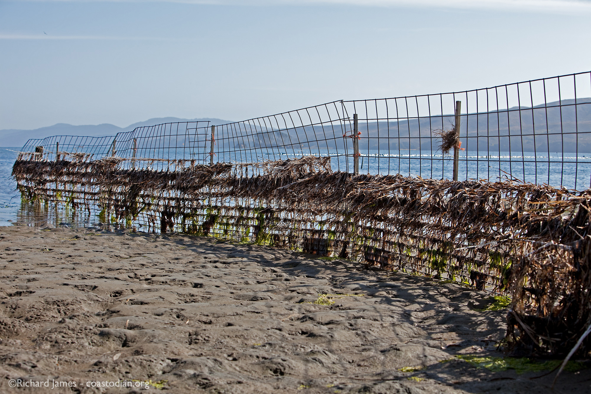 Eel grass trapped by cow fence, Tomales Bay