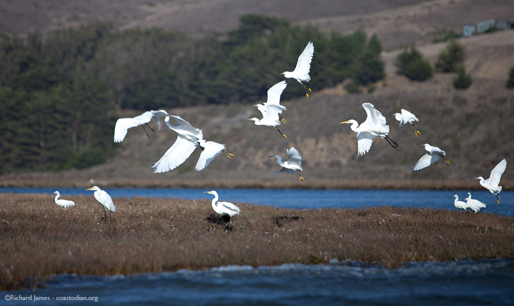 Great and snowy egrets in flight. Tomales Bay, mouth of Walker Creek.