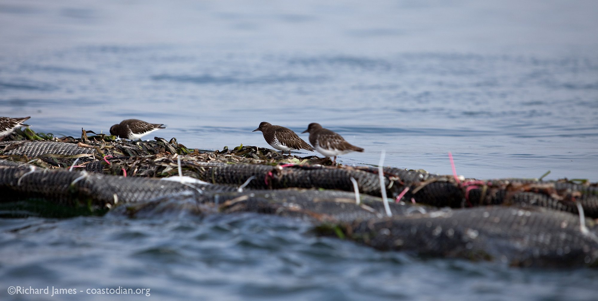 Black turnstones foraging atop oyster grow-out bags, Tomales Bay