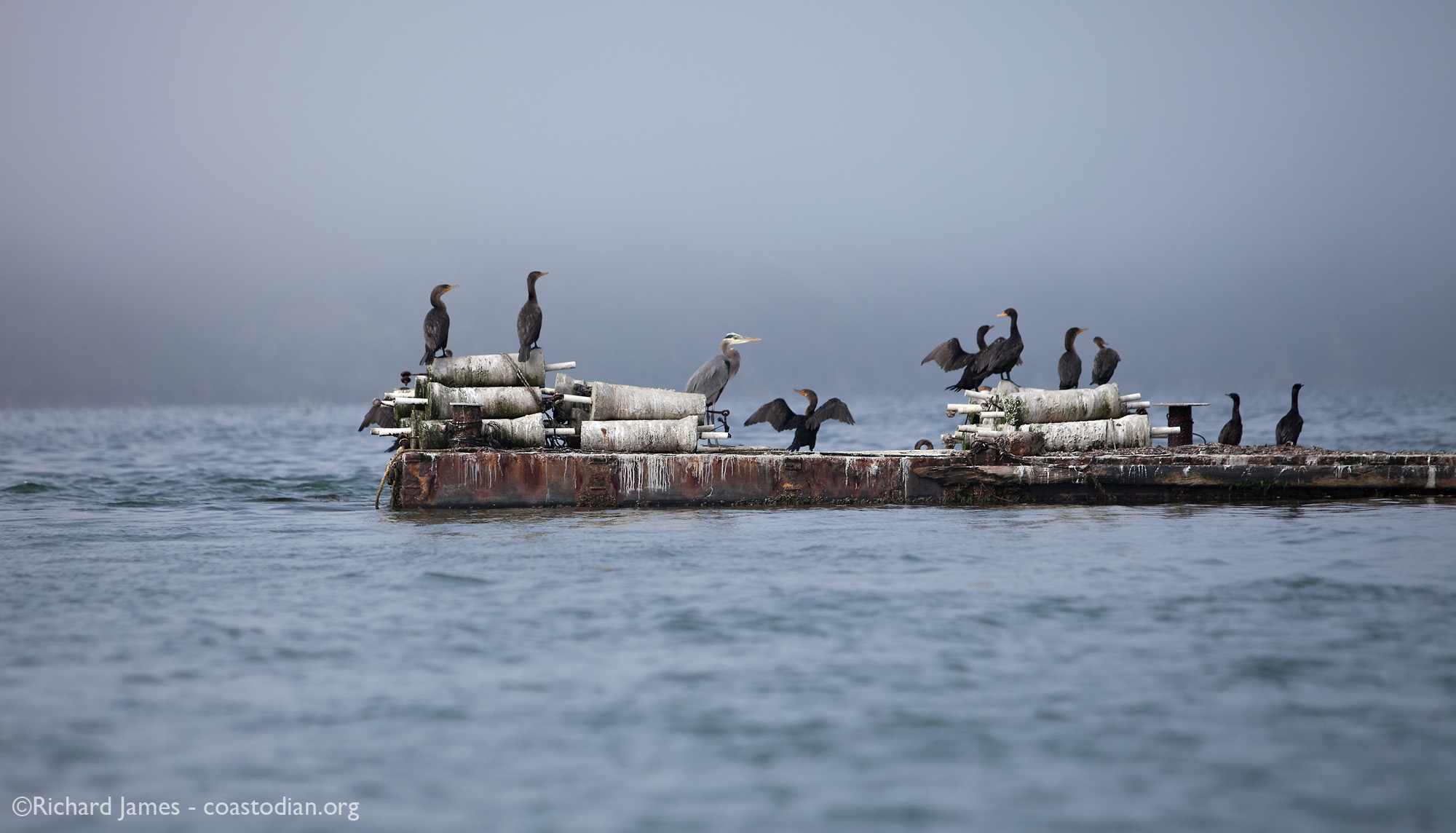 Cormorants and a great blue heron resting on oyster work barge, Tomales Bay