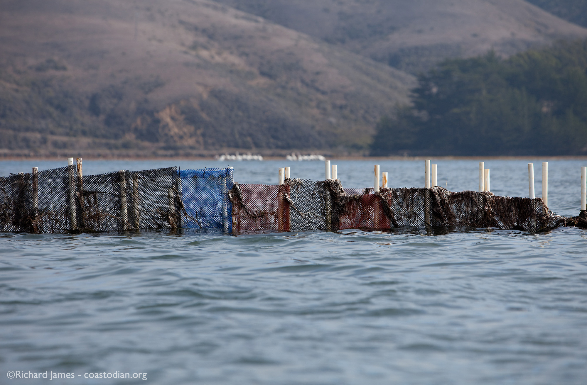 Human-built structure trying to tell the tide where to go with polyethylene bags fastened to polyvinyl chloride (PVC) pipes with nylon cable-ties. Tomales Bay - The white objects in the background are American white pelicans made of feathers, flesh and bone.