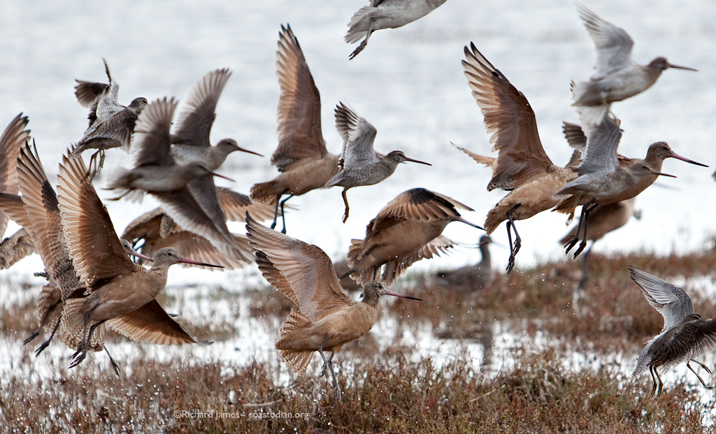 Marbled godwits and short-billed dowitchers.