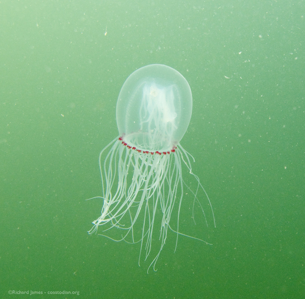 A local jelly floating by