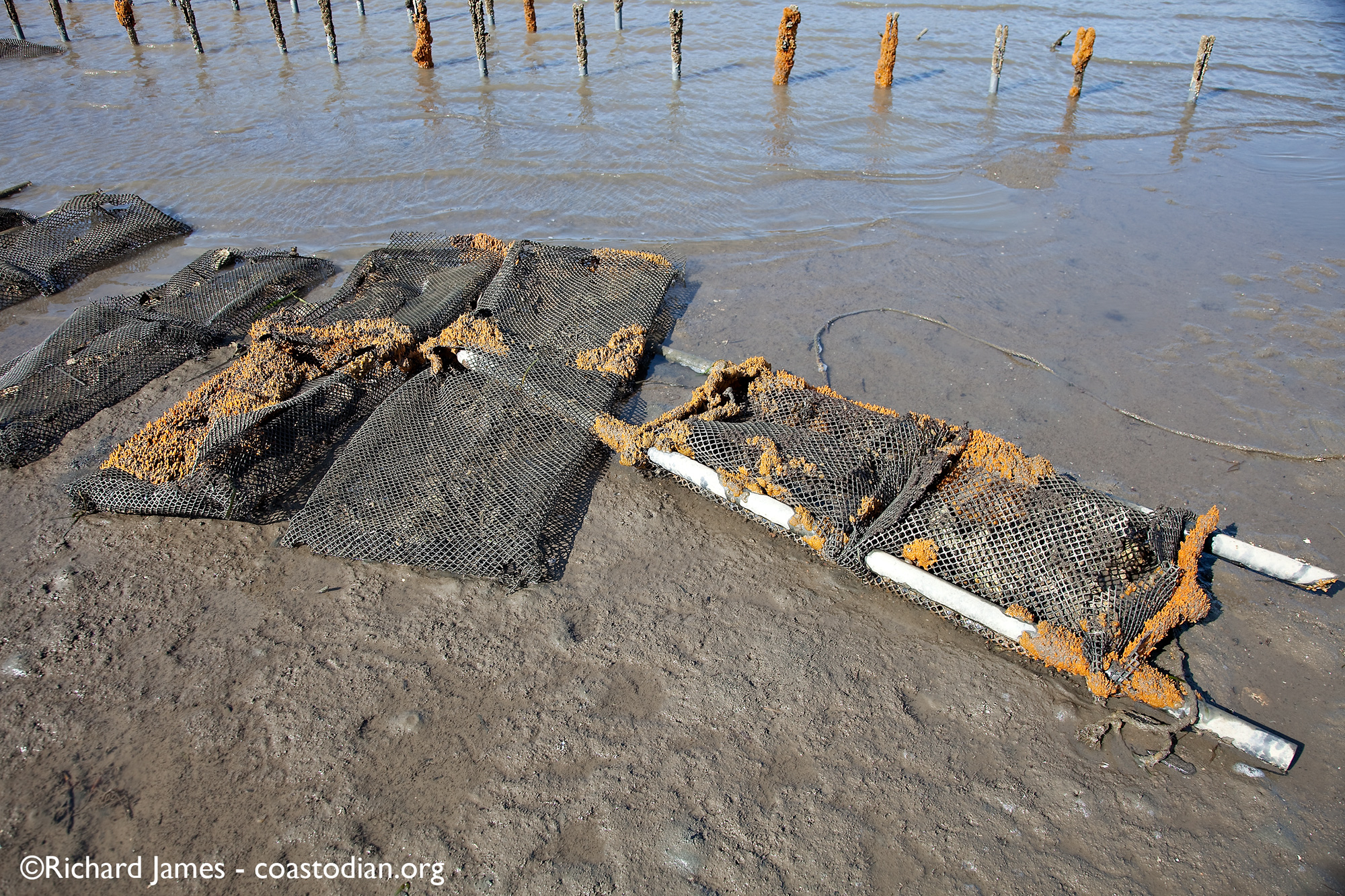 abandoned grow out bags covered with marine growth - Tomales Bay Oyster Company