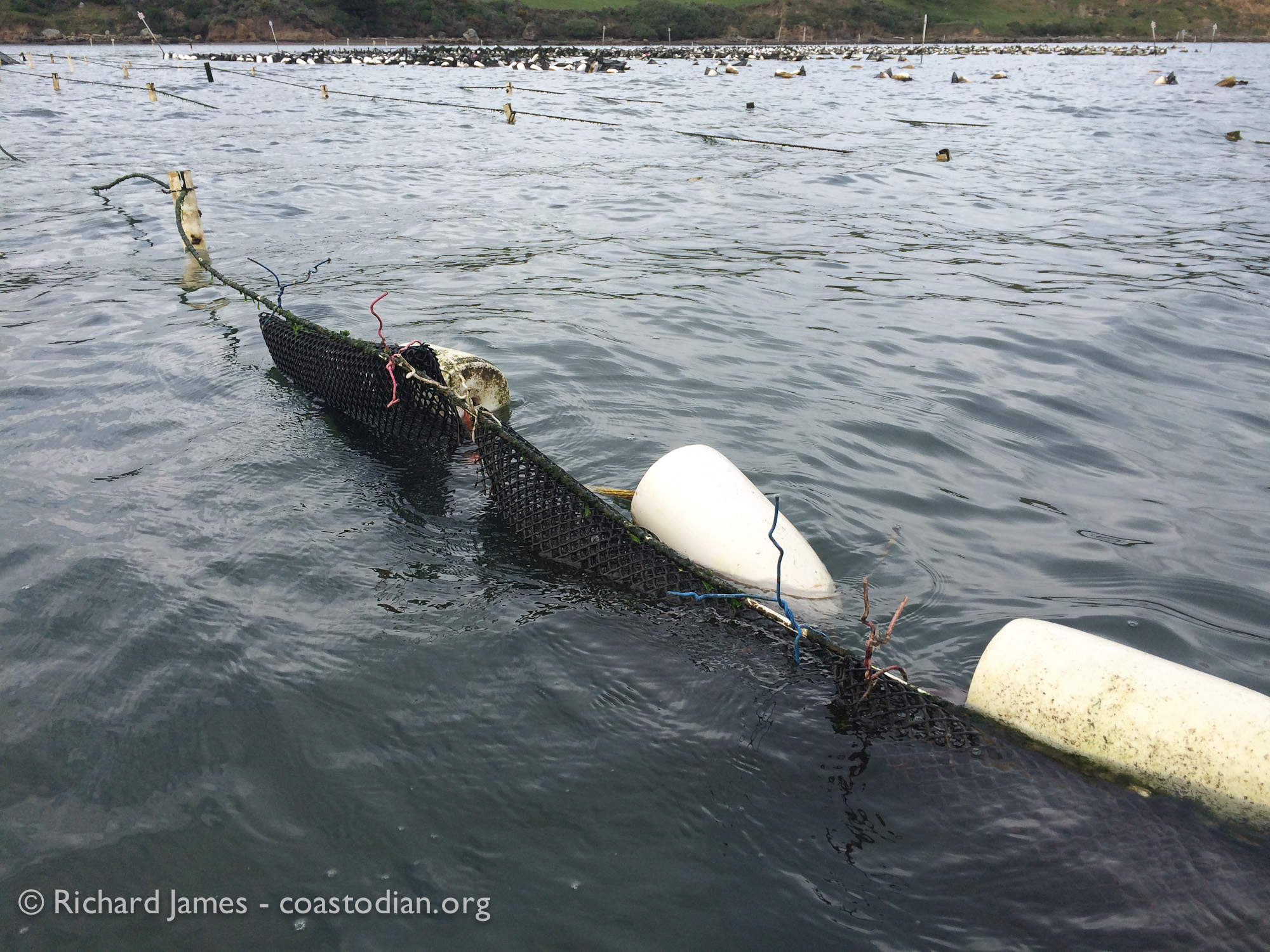 ©Richard James - coastodian.org Recovered bags with live oysters, now reattached on lease M-430-15, see waypoint T21 on map at top of post.