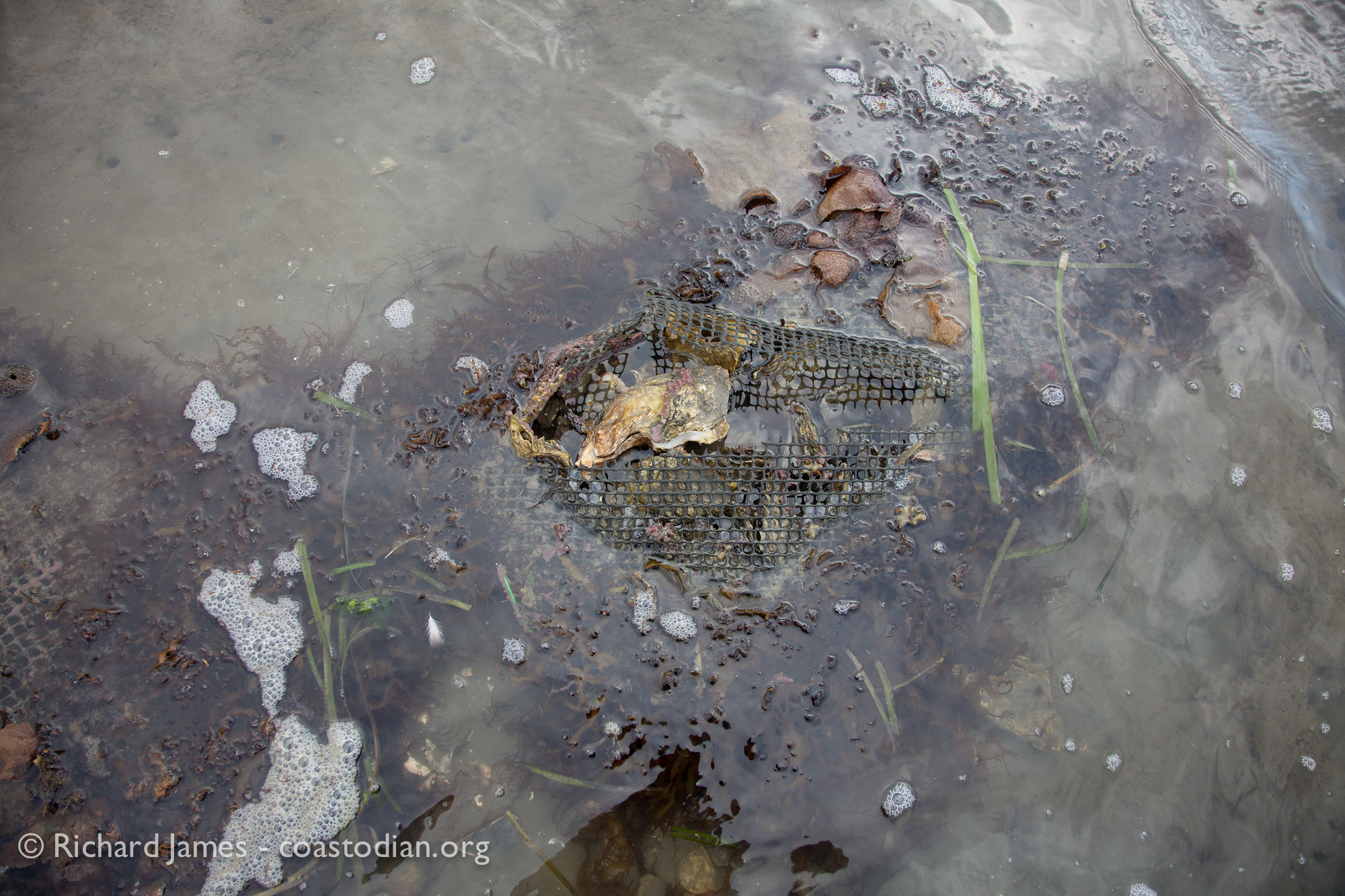 ©Richard James - coastodian.org Abandoned??? Hog Island Oysters grow-out bags on lease M-430-10 on 22 March, 2015