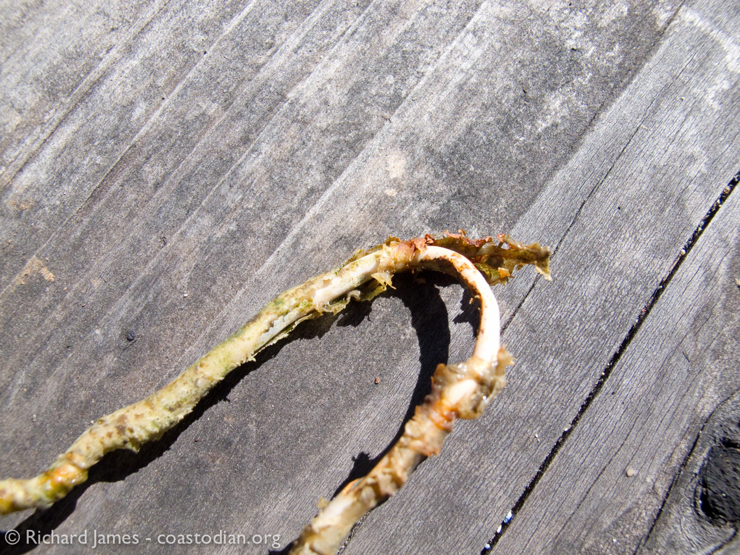 deteriorating plastic-coated copper wire recovered from Point Reyes Oyster Company lease