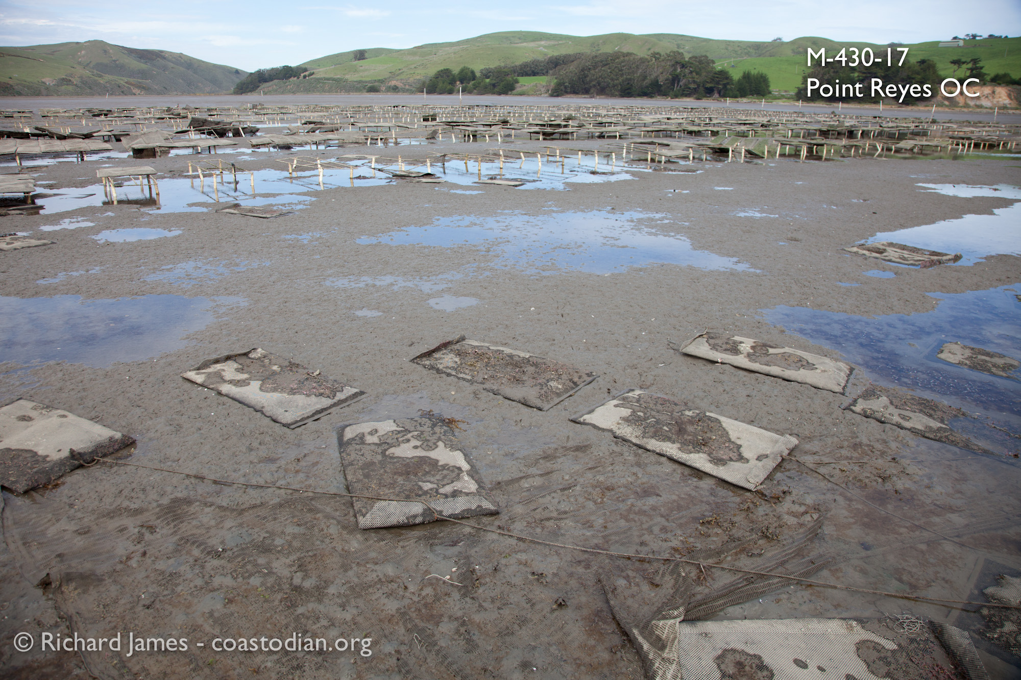 Grow-out bags laying in the mud on lease M-430-17, run by Point Reyes Oyster Company.