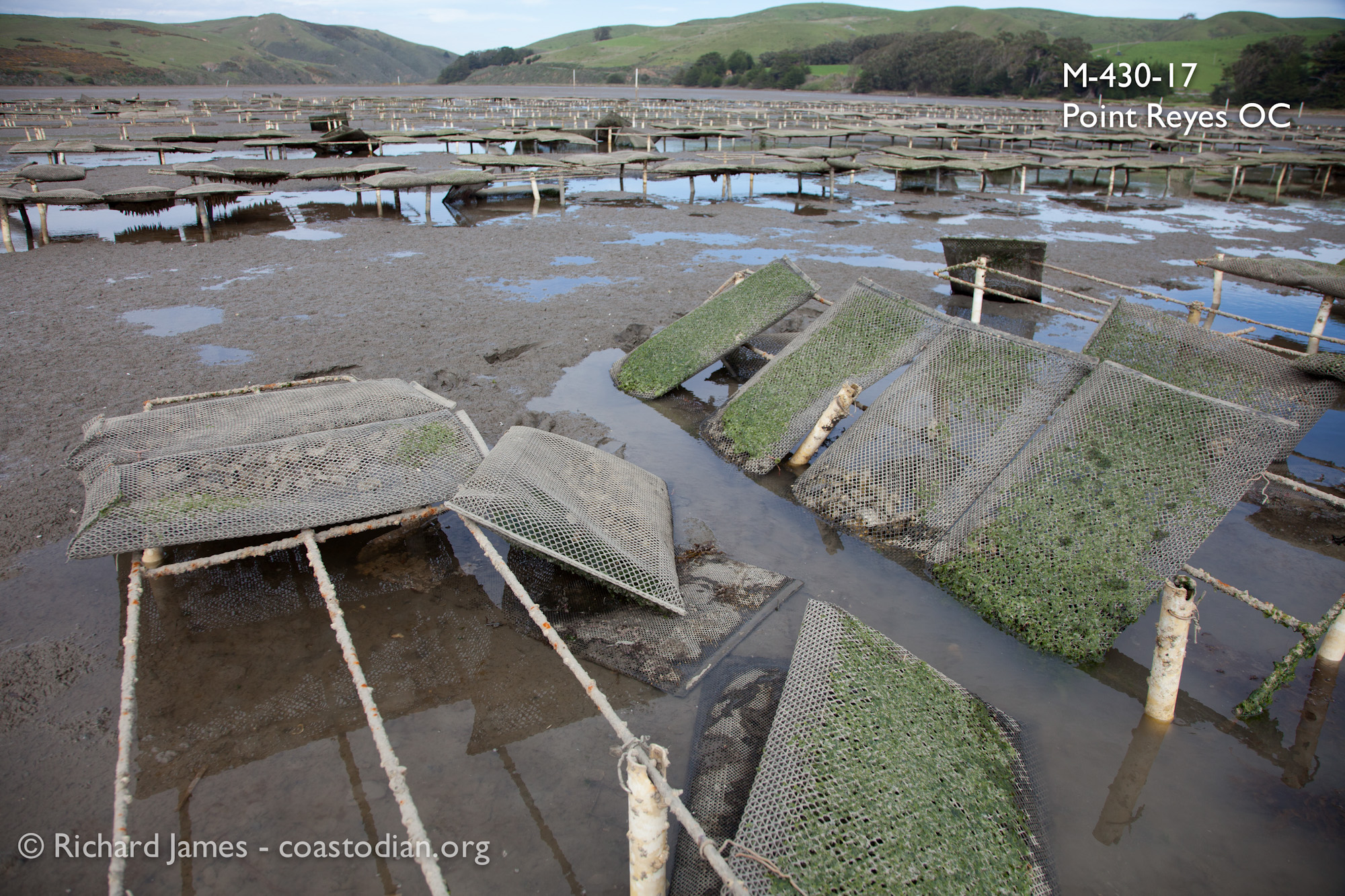 Grow-out bags laying in the mud, racks in a state of disrepair on lease M-430-17, run by Point Reyes Oyster Company.