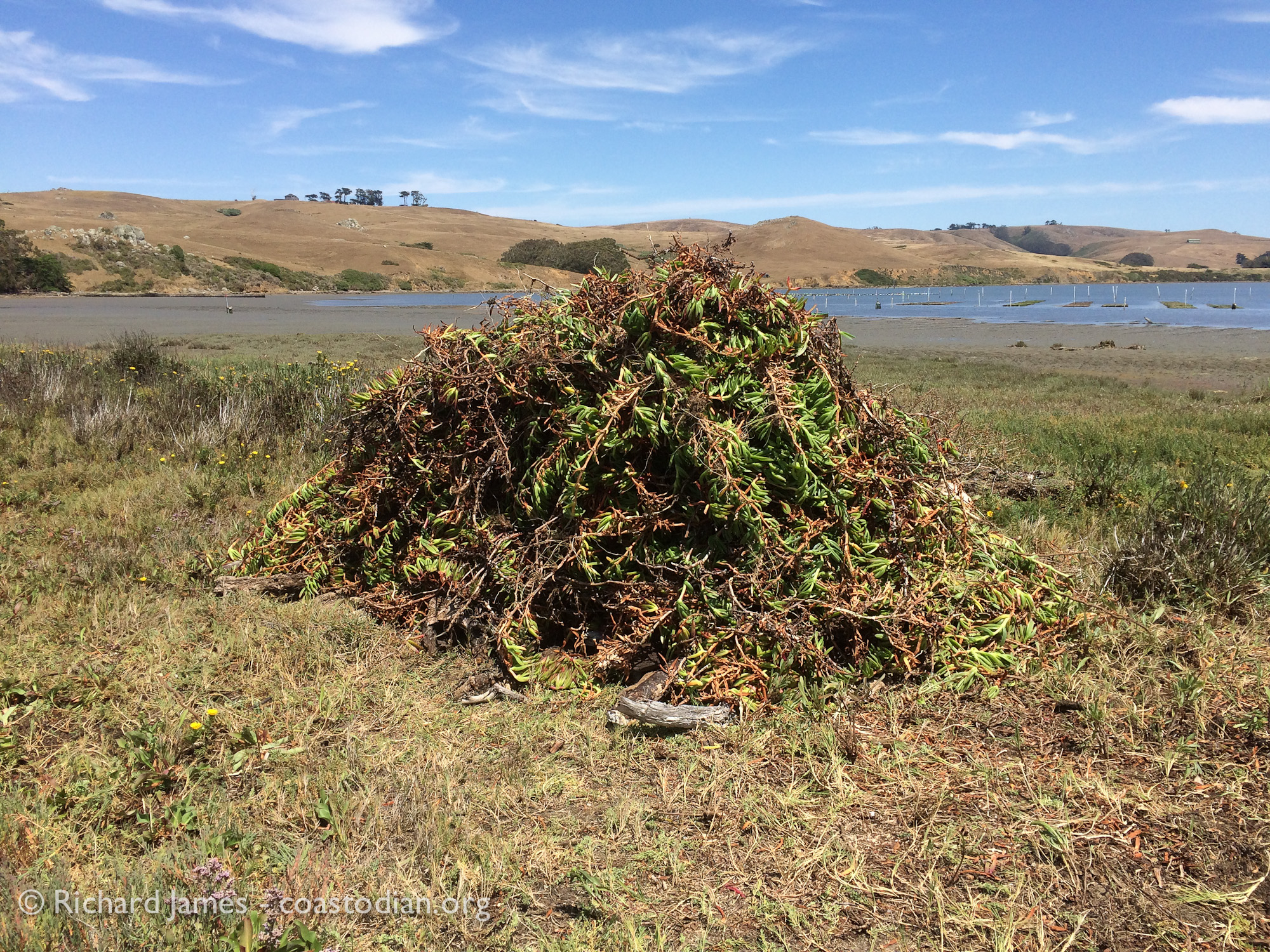 Large pile of ice plant pulled out by one coastodian