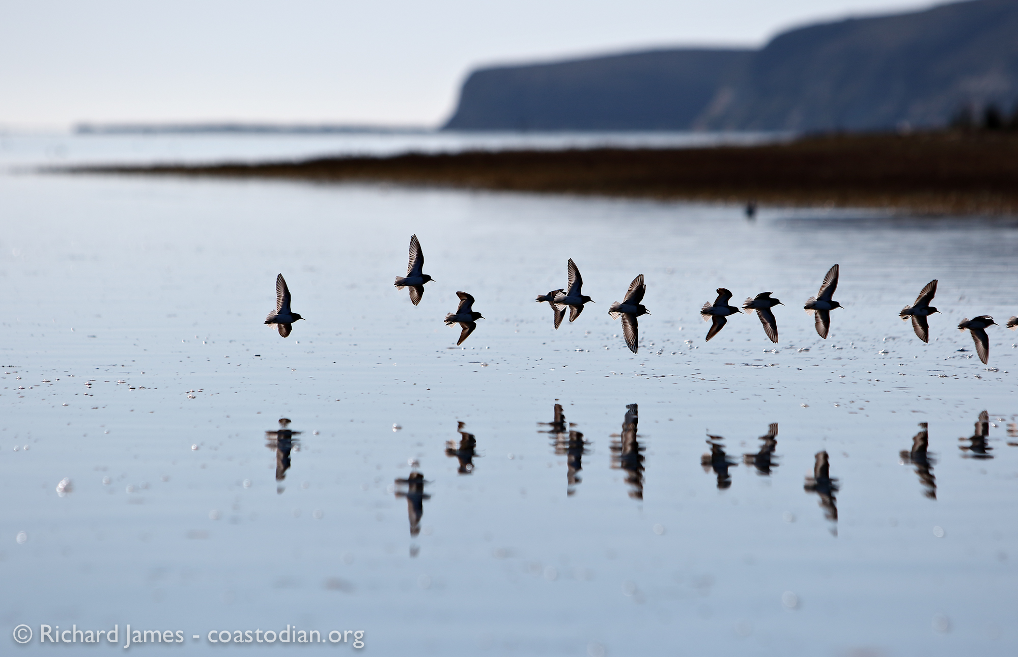 1 January, 2015 - Black Turnstones over Drakes Estero. ©Richard James