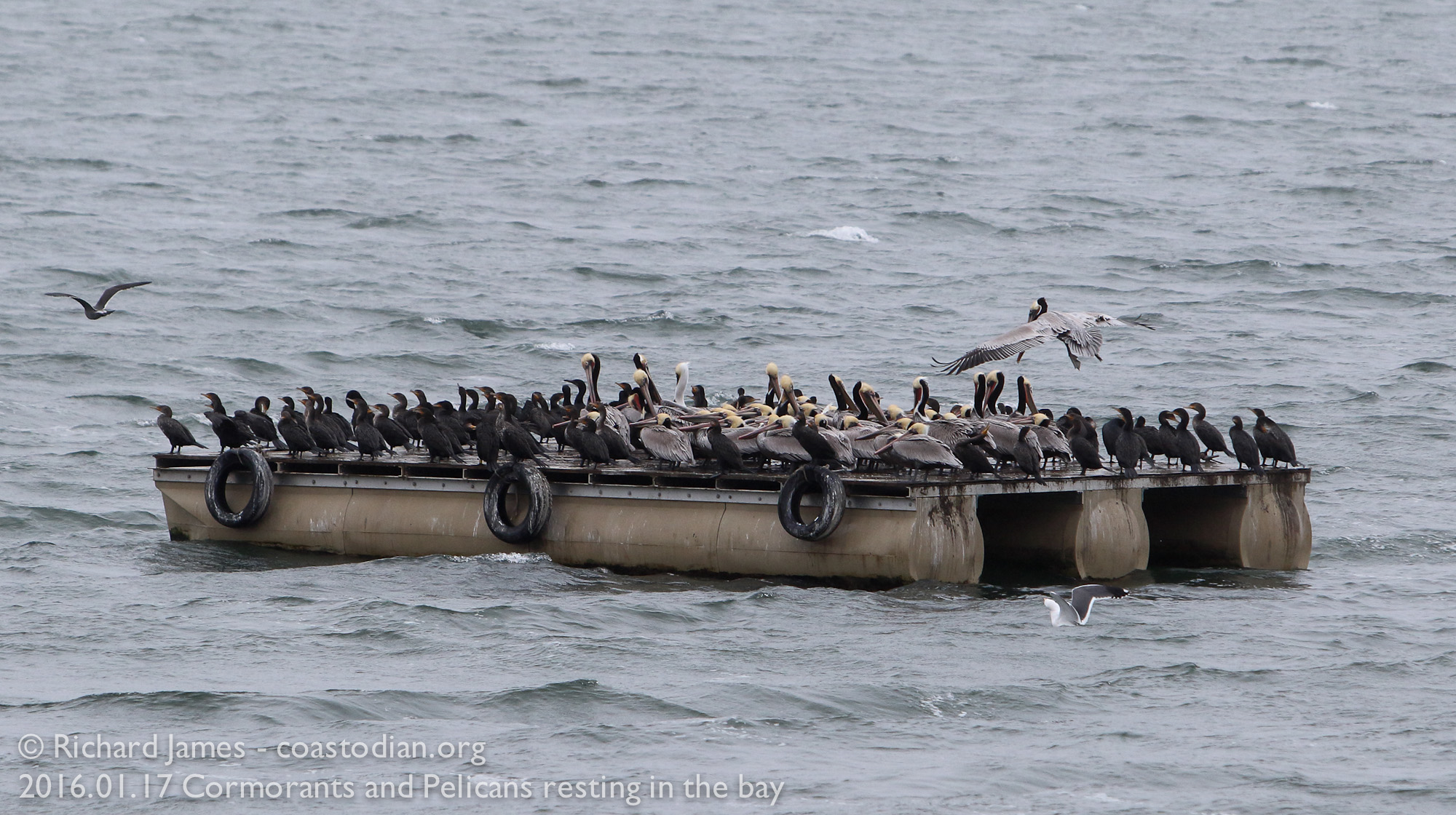 ©Richard James - coastodian.org Cormorants and Pelicans resting, keeping warm
