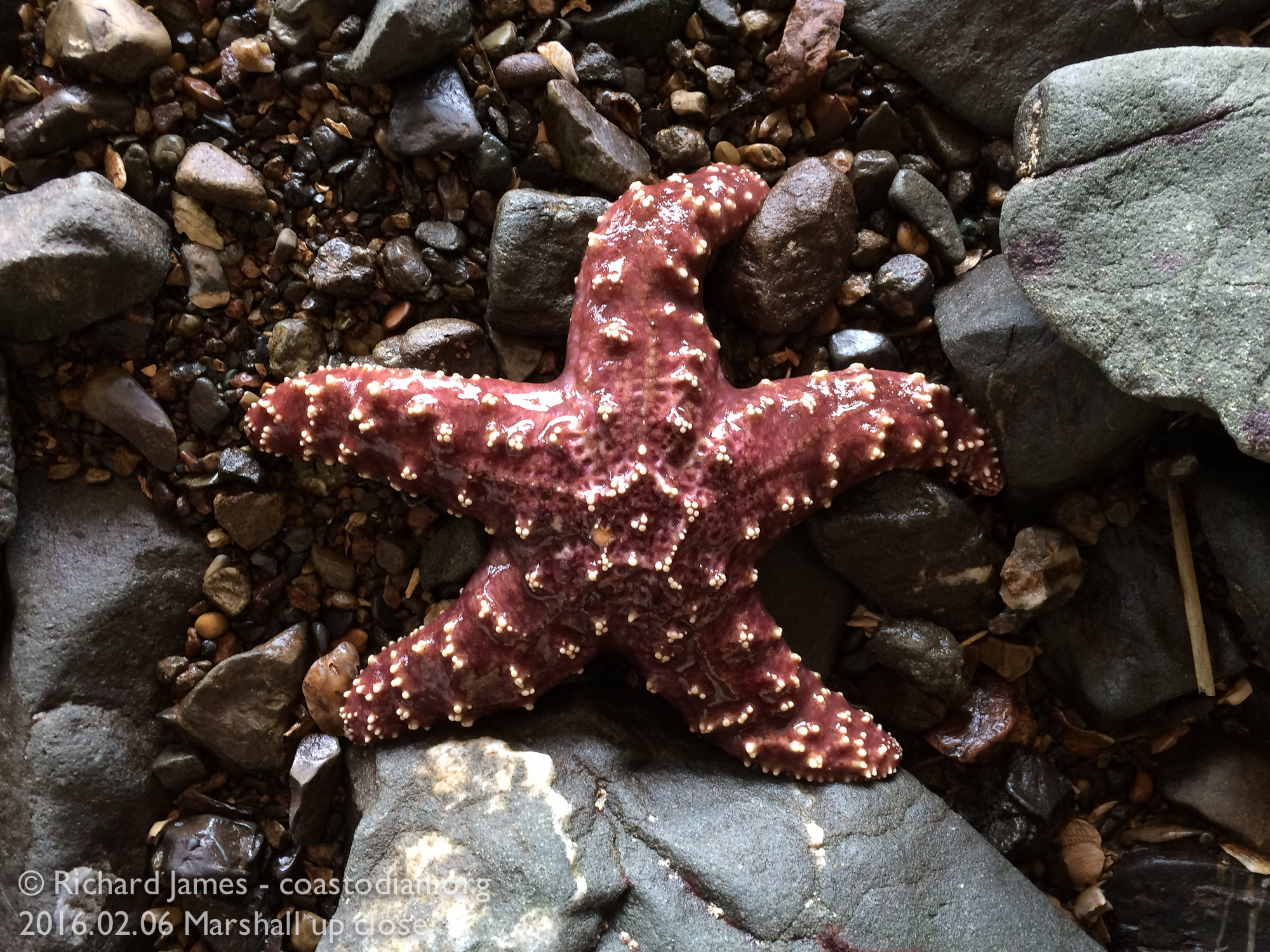 Pisaster.o A rarity these days due to a virus laying waste to these and other species of sea stars