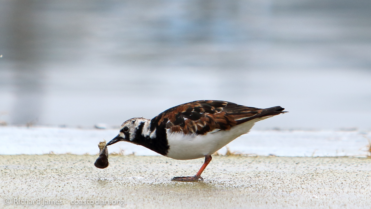 Ruddy Turnstone in Bodega Bay feasting on a crab leg - first one I have seen. ©Richard James - coastodian.org