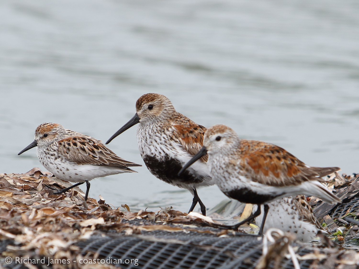 Two Western Sandpipers, Two Dunlin  [black bellies] feasting atop plastic oyster bags in Tomales Bay. ©Richard James - coastodian.org