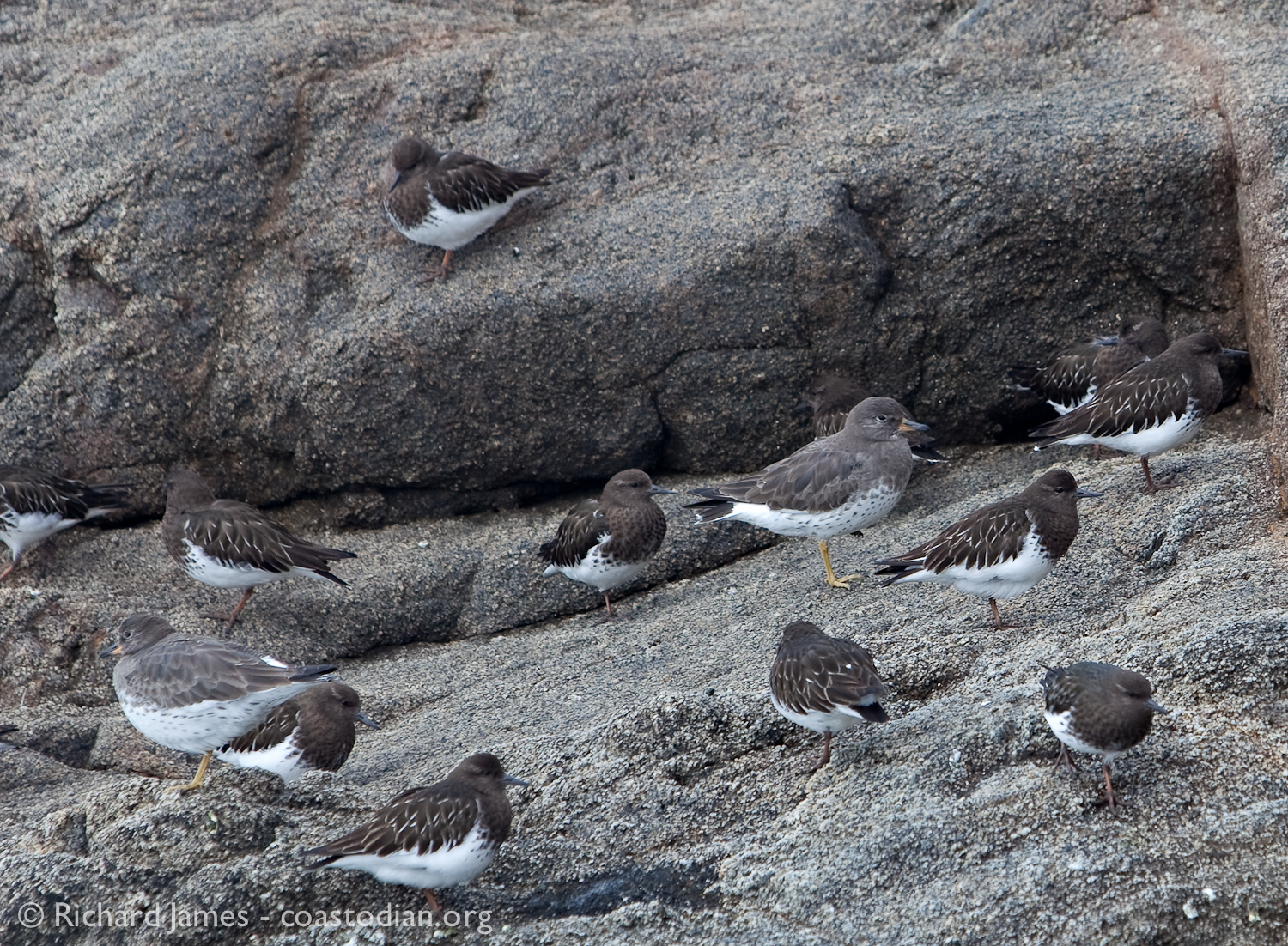 Ten black turnstones and two surfbirds ©Richard James - coastodian.org