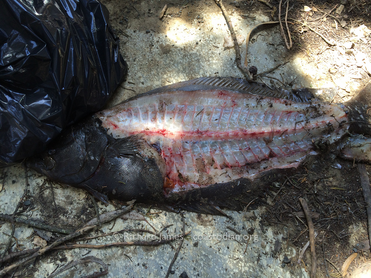 Sloppy filleting  of a halibut, left to attract coons and ravens.