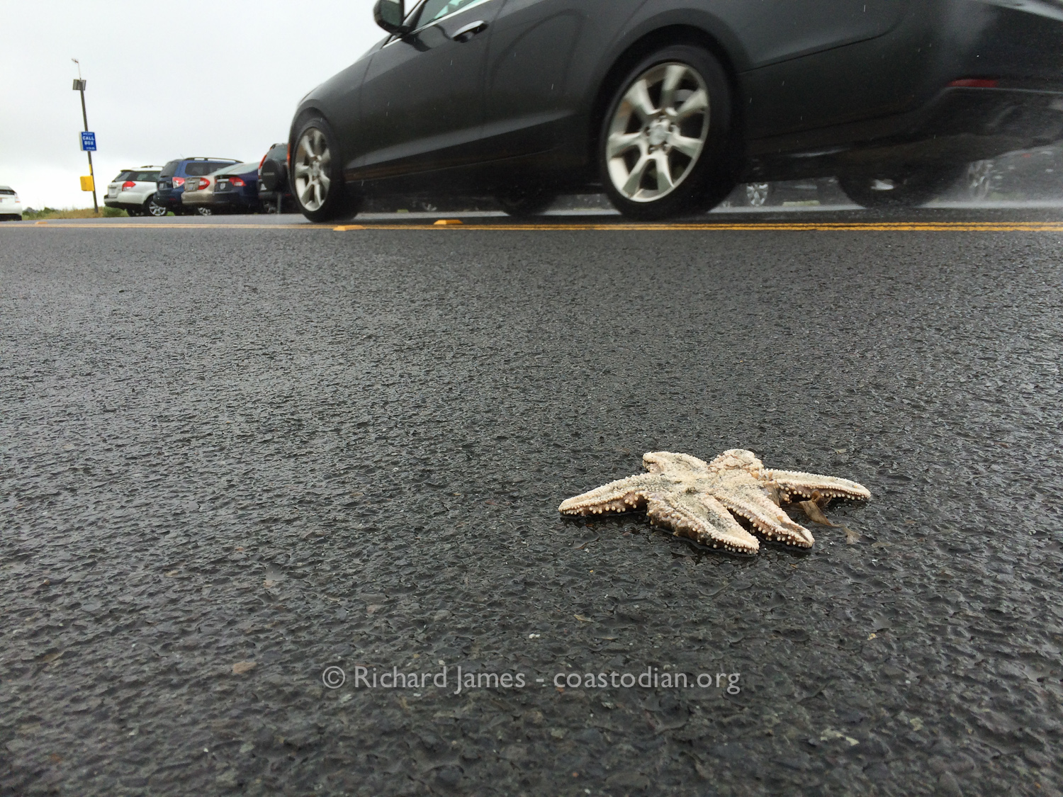 Dead Pisaster starfish tossed into the road. ©Richard James - coastodian.org