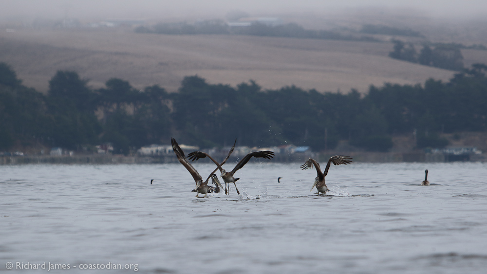 Brown Pelicans on Tomales Bay