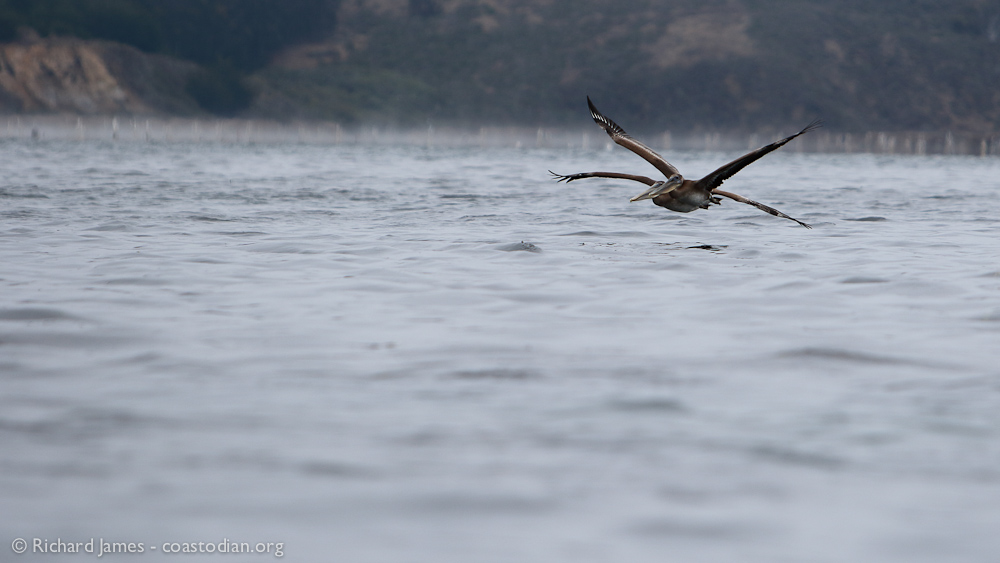Rare four-winged Brown Pelican