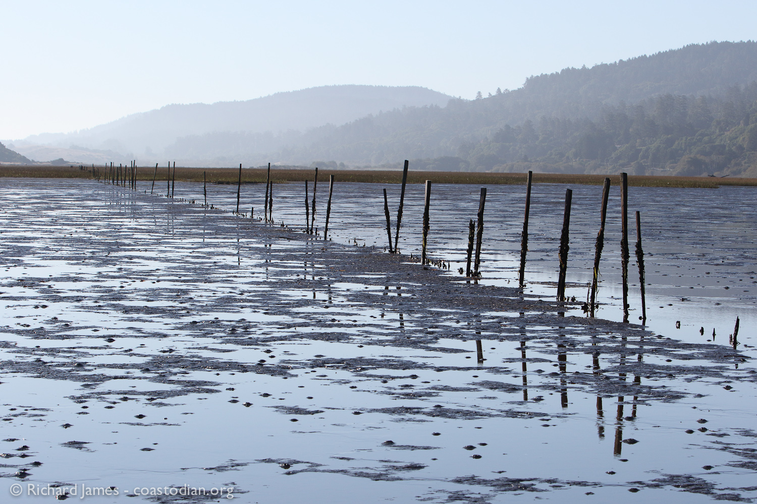 Century old bat-ray fence abandoned long ago, now causing sedimentation in the southern bay as well as providing hard substrate for the invasive oyster drill to colonize upon as well as lay many, many thousands of eggs. These oyster drills prey upon the threatened native Olympia Oyster