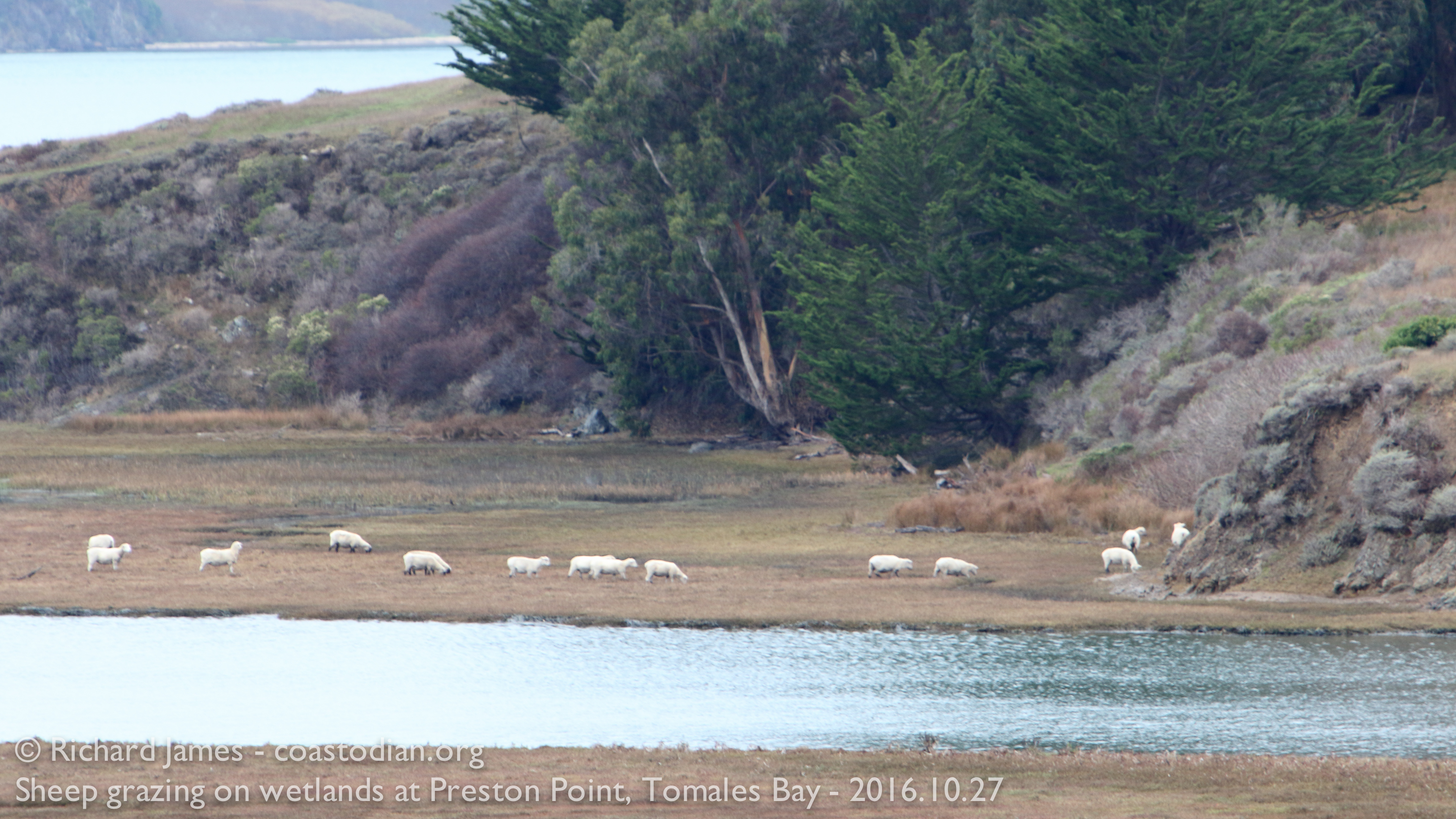 Sheep grazng on wetlands at Preston Point. ~ 400 meters away are millions of oysters growing in the mudflats.