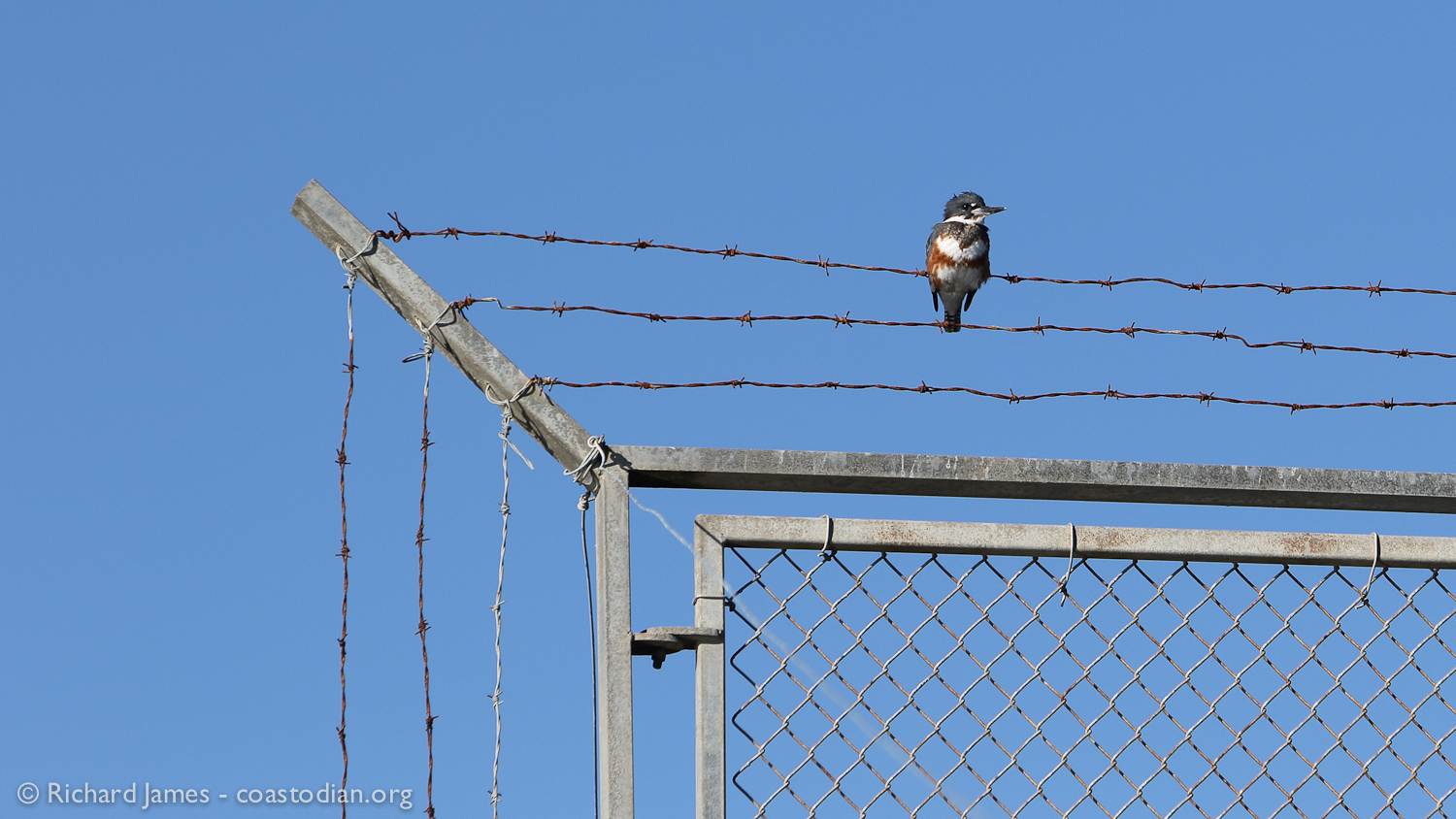 Belted kingfisher pondering the day above the Mad River Slough, Humboldt Bay - ©Richard James