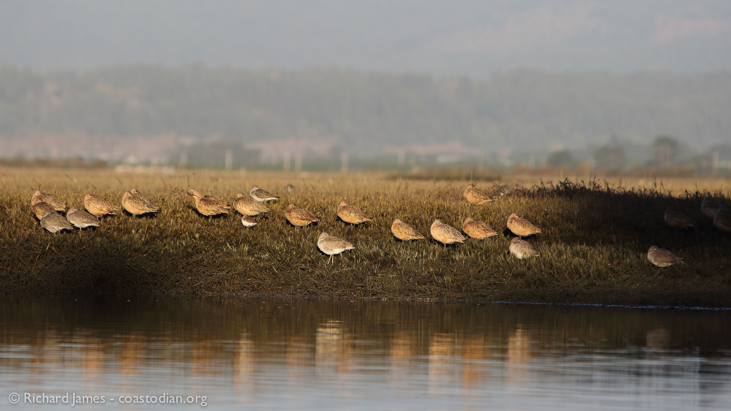 marbled godwit, willet and dunlin in repose on the shore of the Mad River Slough, Humboldt Bay - ©Richard James