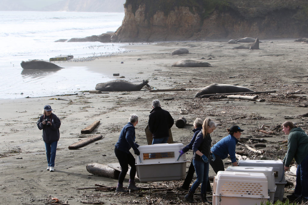 Marine Mammal Center staff prepare to release four fur seals